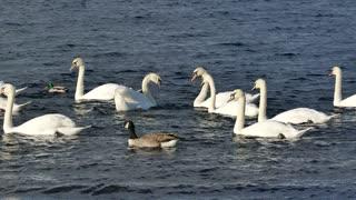 goose goose goose