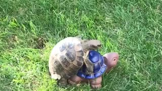 Totally Confused Tortoise