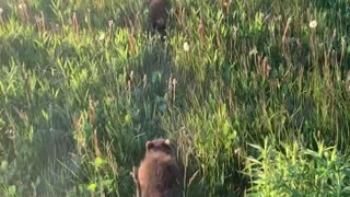 Walking with Rehabilitated Raccoons