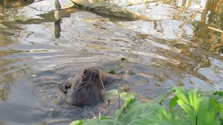 Young Beaver Ride's on Adult Beavers Tail