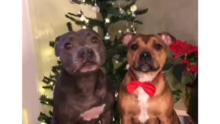 Traitorous dog rats out buddy who stole candy from Christmas tree