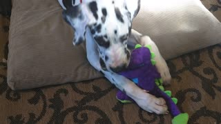 ASMR puppy Dane playing with toy