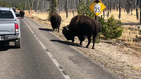 Bison holding up traffic in Yellowstone