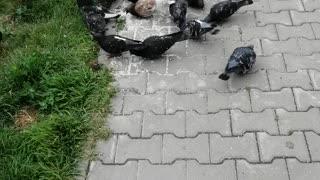 Good pigeons feast on the street.