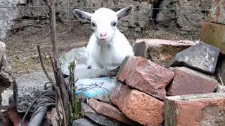 Pygmy Goat Looking Cute