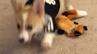 Cute Corgi Wears Hoodie for the First Time