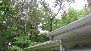 Cockatoo Cleans the Gutter