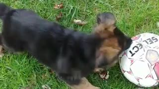 My german shepherd puppy