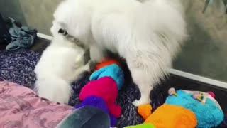 Samoyed dogs wrestle over giant caterpillar