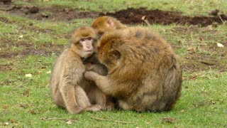 Monkeys taking care of their cub