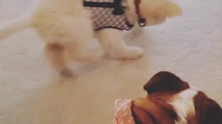 Bulldog plays with puppy