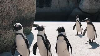 Parade of penguins on the beach