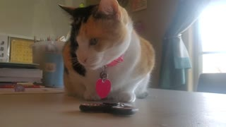 Cali cat 🐈 playing fidget spinner