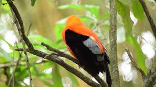 Tropical Orange Parrot