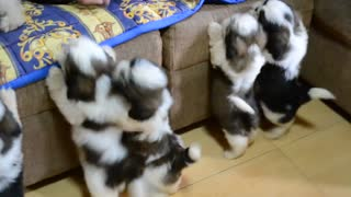 Cachorros Shih Tzu después del primer baño