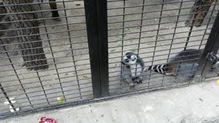 Beautiful lemurs in the zoo in summer.