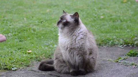 Cat British sorthair