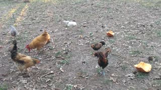 Afternoon chickens eating pumpkin