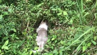 Siberian husky dogie