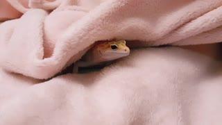 It's raining, lizard warms up under a blanket