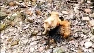 FIGHT BETWEEN DOG AND CHICKEN