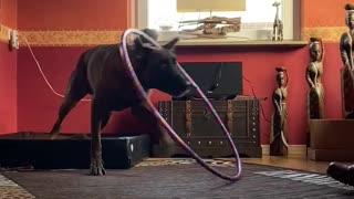 Incredible dog trick