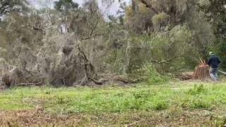 How to cut down a water oak in 22 Second Easy!