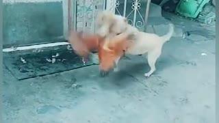 Crazy Dog VS Chicken Fight