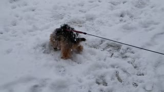 Max the Yorkie Loves the Snow