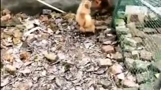 Chicken fighting with Dog funny video