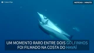 Mergulhador filma golfinhos em momento... íntimo