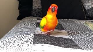 Parrot's feet make hilarious noises when he runs