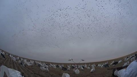 Snow Goose Hunting in Saskatchewan