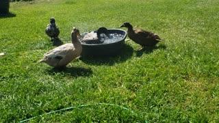 Fun on the Farm - morning Duck swim!