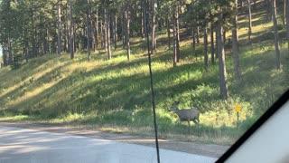 Deers crossing Black Hill South Dakota