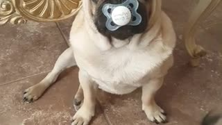 Pug steals baby's pacifier
