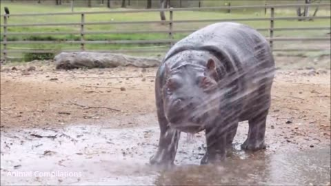 Baby Hippos Swimming - CUTEST Compilation