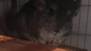 Sassy chinchilla wants a better treat