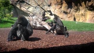 Toddler Gorilla Frolics With Mum On 1st Birthday