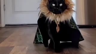 Fashion show of cats part 2