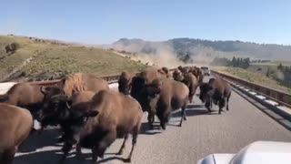 Bison Stampede at Yellowstone