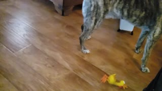 Slo-mo Dog playing with toy