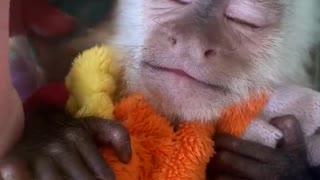 Baby Capuchin Monkey Needs a Nap