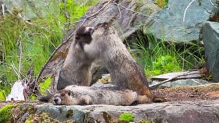 Marmotas Família =-