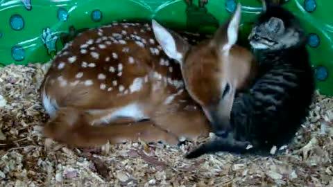 Deer and baby kitten.