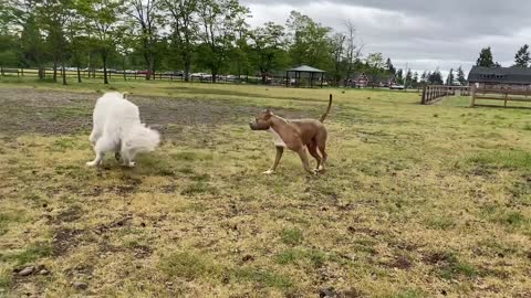 German Shepherd Attacks Pitbull in a park