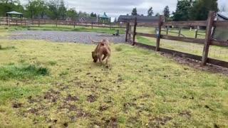 German Shepherd Attack