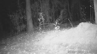 Bobcat second