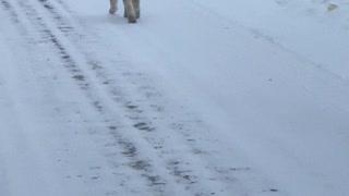 Lynx Strolls Down Street