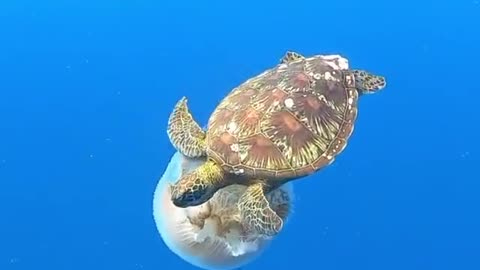 Turtles Jellyfish and Whale song an endangered green sea turlte feastes on a large jellyfish